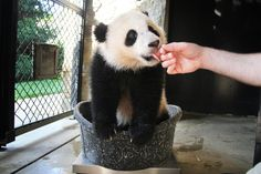 Bao Bao: Princess of the Panda House turns one! Diana Soliwon for USN&WR
