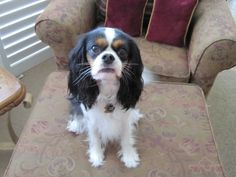 Cavalier King Charles Spaniels are the best dogs!!!