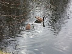 ducks - Zitadelle Spandau _ Berlin