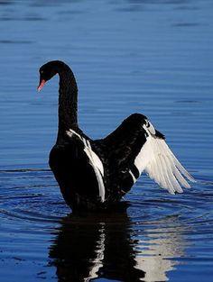 Лебедь белая.... Обсуждение на LiveInternet - Российский Сервис Онлайн-Дневников