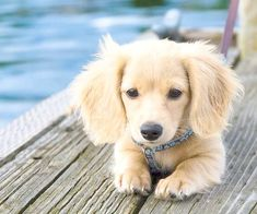 Dachshund mixed with Golden Retriever. <----- this is NOT a dachshund mixed with retriever - not possible have you seen the size of the two dogs? It's just a long hair mini dachshund.however it's super duper cute! Best Dog Breeds, Best Dogs, Cute Puppies, Dogs And Puppies, Doggies, Adorable Puppies, Chihuahua Dogs, Corgi Pomeranian, Cute Puppy Breeds