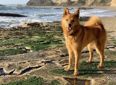 Spitz Dog Breeds, Spitz Dogs, Corgi, Animals, Pet Dogs, Corgis, Animales, Animaux, Animal