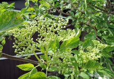 Holunder-Blütezeit