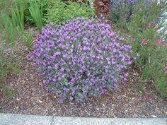 hazel spanish lavender shrub - Google Search