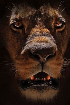 The Lion (Panthera leo) is one of the four big cats in the genus Panthera and a… Beautiful Cats, Animals Beautiful, Big Cats, Cats And Kittens, Regard Animal, Grand Chat, Animals And Pets, Cute Animals, Scary Animals