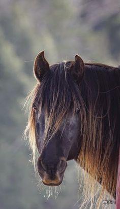 Rocky Mountain horse - from Rockies-Rocky Mountain, Kentucky Mountain Horse ranch.
