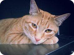 Prattville, AL Please Save Me - Domestic Shorthair. Meet Oliver 19878 a Cat for Adoption.