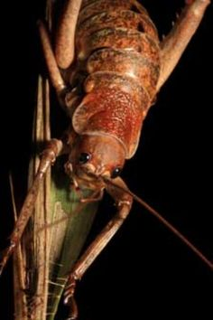 """Giant Weta  (Native to New Zealand) genus Deinacrida, family Anostostomatidae, can grow over 4"""" long. It is documented that one captive female grew to a mass of 2.5 oz, making it one of the heaviest insects in the world. It's genus name is Greek for Terrible Grasshopper."""