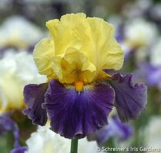 This stylish sojourner is an absolute knockout, colorful as a tropical bird. Outsized lemon yellow standards add mutual contrast with violet plum falls. Beneath sleek embossed shoulders, a cerulean...