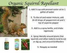 Homemade squirrel repellent keeping squirrels out - How to keep deer out of garden home remedies ...