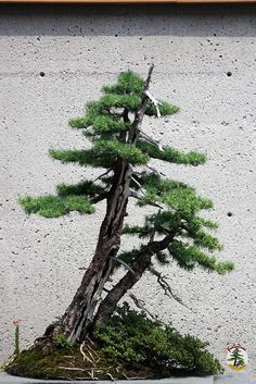 Bonsaï & Penjing - Tamarack 140 yrs C20050701 106 at the Tree House by fotoproze on Flickr.