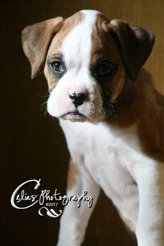 PuppydogBoxerAnimalPhotographyPhotoPrintnotecardsgreeting by Celiasphotography10