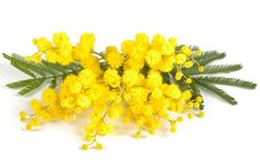 Mimosa, a yellow tree from the South of France: seasonal flower and scents from Provence