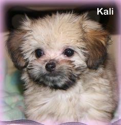 Mi-ki puppies for sale, Toy Breed Puppy Nursery in Florida Tiny Puppies, Cute Little Puppies, Yorkie Dogs For Sale, Puppy Nursery, Florida, Shih Tzu Puppy, Pet Clothes, Cute Baby Animals, Doggies