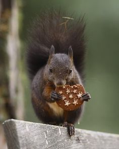 This squirrel has been photographed in Italy, because the cookie he/she's eating is made there: Pan di Stelle. :-D