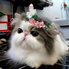 """Meet """"Hope"""" the adorable Bi-Color (black and white) Persian cat that is a current Instagram sensation!"""""""