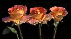 David Mills - Rose Trio