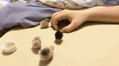 Watch Making a hand-house for little chicks Animated Gif Image. Gif4Share is best source of Funny GIFs, Cats GIFs, Dogs GIFs to Share on social networks and chat.