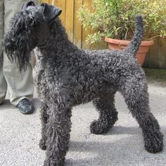 kerry blue terrier photo | Kerry Blue Terrier Pups KC Registered | Halifax, West Yorkshire ...