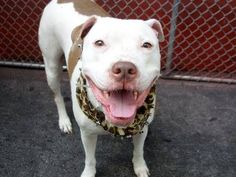 REST IN PEACE 07/30/14~~Manhattan Center -P  CHRISSY - A1007318 *** EXPERIENCED HOME, NO CHILDREN ***  FEMALE, WHITE / BROWN, PIT BULL MIX, 6 yrs OWNER SUR - EVALUATE, NO HOLD Reason MOVE2PRIVA  Intake condition NONE Intake Date 07/19/2014, From NY 10455, DueOut Date 07/19/2014,