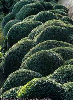 LOVE THIS FREE FORM HEDGING ...