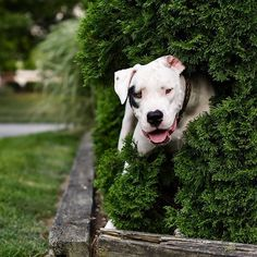 Jax hiding in the bush again as usual. 😜  Captured by Ellie @magick9s. Ellie's account @magick9s is also hosting an amazing giveaway for her one year anniversary on Instagram. She's giving away a Nikon DSLR because she wants to give someone a chance to fall in love with photography the way she has. So nice and amazing of her to do! Go check out her account and enter the giveaway for your chance to win! thewhitestpupsyouknow