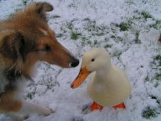 Enjoy cold winter days together | Why Are Dogs And Ducks Best Friends?