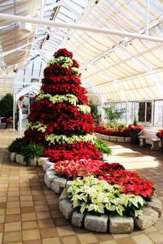 Poinsettia tree at Franklin Park Conservatory. Last year was 10-ft of red and white beauty...can't wait to see what this year's will be!