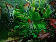 Tropical Aquarium, Tropical Fish, Freshwater Aquarium Fish, Angelfish, Discus, Beautiful Fish, Vertebrates, Cichlids, Planted Aquarium