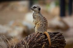 Meerkat | Flickr - Photo Sharing!