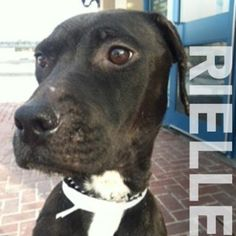 Meet Rielle, a 2 year old female terrier/pit bull mix.     Rielle is a sweet love bug. She walks well on a leash, takes treats gently and appears house-trained. She loves to give kisses and cuddle. Come into meet this beauty girl, she will steal your heart.    If you are interested in fostering her, please contact Ginny at 355-7203.