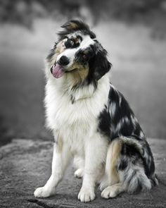 The traits I admire about the Smart Australian Shepherd Puppies Aussie Puppies, Cute Puppies, Cute Dogs, Dogs And Puppies, Funny Dogs, Miniature Australian Shepherd Puppies, Merle Australian Shepherd, Aussie Shepherd, American Shepherd