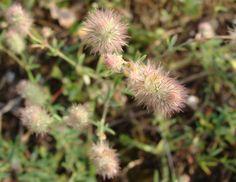 Trifolium arvense, Thessaloniki Thessaloniki, Dandelion, Greece, Flora, Plants, Dandelions, Taraxacum Officinale, Grease, Plant