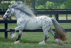 Appaloosa Gypsy Vanner. I cannot bring myself to like Gypsy horses, even this one, and I like Appaloosas