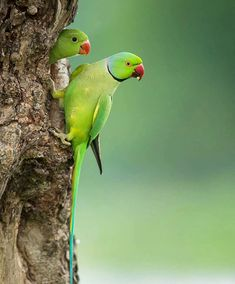 Parakeet 🐥 London 🇬🇧 Green Parrot Bird, Green Parakeet, Cute Birds, Pretty Birds, Beautiful Birds, Exotic Birds, Colorful Birds, Passaro Ring Neck, Cute Baby Animals