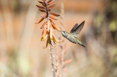 Photograph Hummingbird @ Desert Museum by Michael Cox on 500px