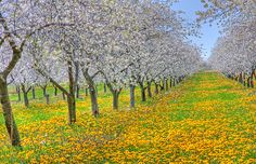 Traverse City, Michigan Cherry Orchard... wouldnt this be a great wedding location!!!