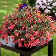 F1 Bossa Nova® - Begonia   Floranova Hanging Baskets, Plants, Large Containers, Spring, Begonia, Bloom, Green Thumb, Green