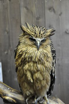 The Buffy Fish Owl (Bubo ketupu), also known as the Malay Fish Owl, is a species of owl in the Strigidae family. It is found in Brunei, Cambodia, Cocos (Keeling) Islands, India, Indonesia, Laos, Malaysia, Myanmar, Singapore, Thailand, and Vietnam. Its natural habitat is subtropical or tropical moist montane forests.