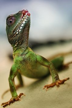 Chinese Water Dragon - I HAD to put him in there...