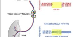Researchers identify neural networks within the vagus nerve responsible for…