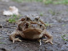 Bufo bufo Common toad Reptiles And Amphibians, Toad, Wildlife, Animals, Animales, Animaux, Animal, Animais