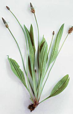 Jitrocel kopinatý (Plantago lancedata) Herbs, Garden, Plants, Diet, Garten, Lawn And Garden, Herb, Gardens, Plant
