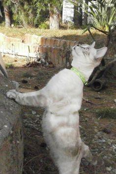 UBEDA - Gato adoptado - AsoKa el grande