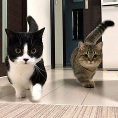I love munchkin cats! Click the Photo For More Adorable and Cute Cat Videos and … I love munchkin cats! Click the Photo For More Adorable and Cute Cat Videos and Photos Cute Cats And Kittens, I Love Cats, Crazy Cats, Kittens Cutest, Lps Cats, Funny Kittens, Kittens Playing, Baby Kittens, Pretty Cats