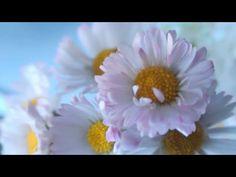 Százszorszép vadvirágok ♥ Szeretettel ♥