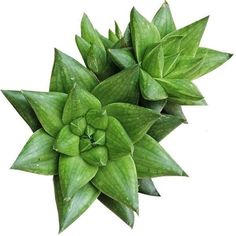 Haworthia batesiana has miniature 2 in rosettes with translucent bright green leaves marked with a net of deeper green. These succulent leaves have smooth margins and a terminal white spine.  #haworthia #batesiana #haworthiabatesiana #brightgreen #succulents