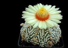 ASTROPHYTUM ASTERIAS cv. PURE SUPER KABUTO cactus seeds