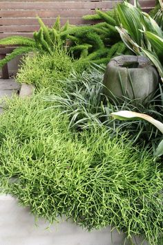Landscape designer Peter Nixon has used this Rhipsalis as agroundcover on a rooftop garden