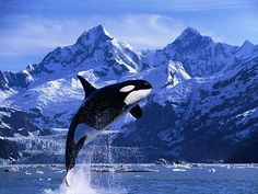 Happy Orca, jumping just for the fun of it! Please say a quiet prayer for all the orcas in captivity like Tilikum. Water Animals, Ocean Creatures, Tier Fotos, Killer Whales, Whale Watching, Sea World, Animals Beautiful, Beautiful Creatures, Dolphins